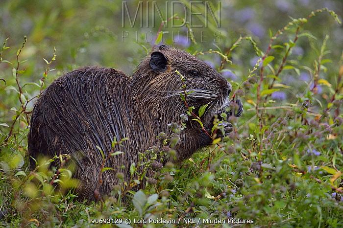 Coypu, River Rat (Myocastor coypus) feeding on flowers Gironde, west France, September  -  Loic Poidevin/ NPL