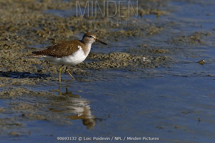 Common Sandpiper (Actitis hypoleucos) foraging by water Breton marsh, west France, September  -  Loic Poidevin/ NPL