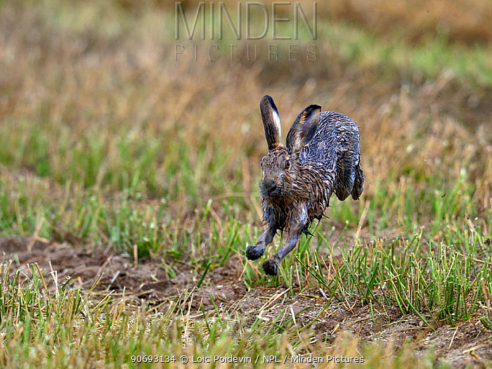 Brown Hare (Lepus europaeus) running Bourgneuf bay, west France, September Sequence 1 of 3  -  Loic Poidevin/ NPL