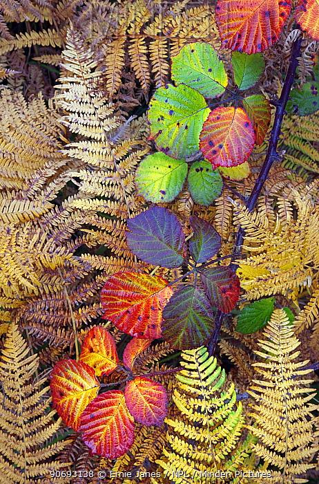 Bramble leaves (Rubus plicatus) and Bracken fronds (Pteridium sp) changing colour in autumn, Norfolk, England, October  -  Ernie Janes/ npl