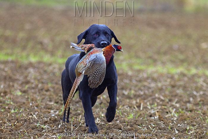 Black Labrador retrieving dead cock pheasant (Phasianus colchicus) during pheasant shooting, Essex, November  -  Ernie Janes/ npl