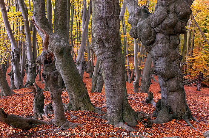 Epping Forest with ancient pollarded beech (Fagus sylvatica) Essex, November  -  Ernie Janes/ npl