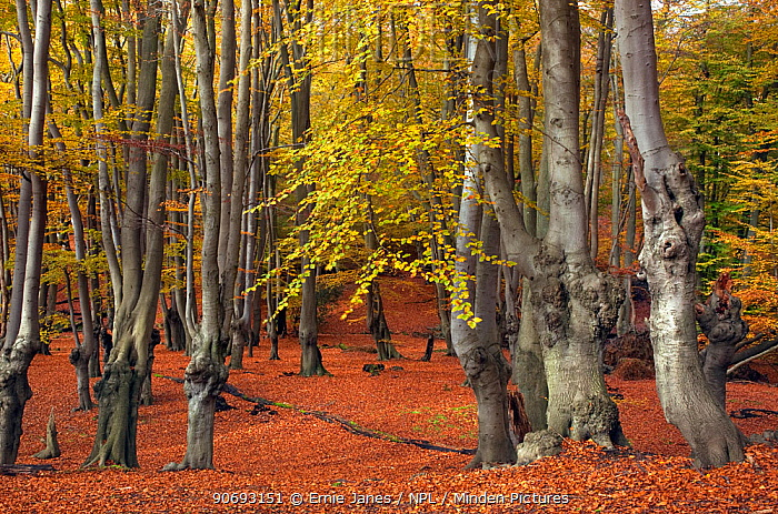 Epping Forest with ancient pollarded beech trees (Fagus sylvatica) Essex, November  -  Ernie Janes/ npl