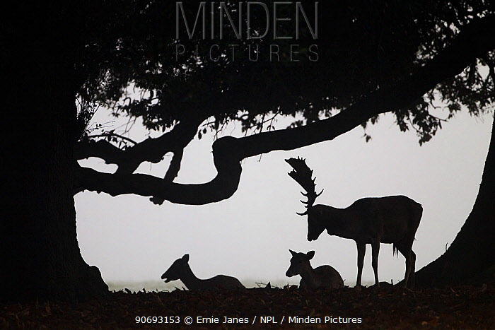 Fallow Deer (Cervus dama) does and buck silhouetted, Holkham, Norfolk, UK, November  -  Ernie Janes/ npl