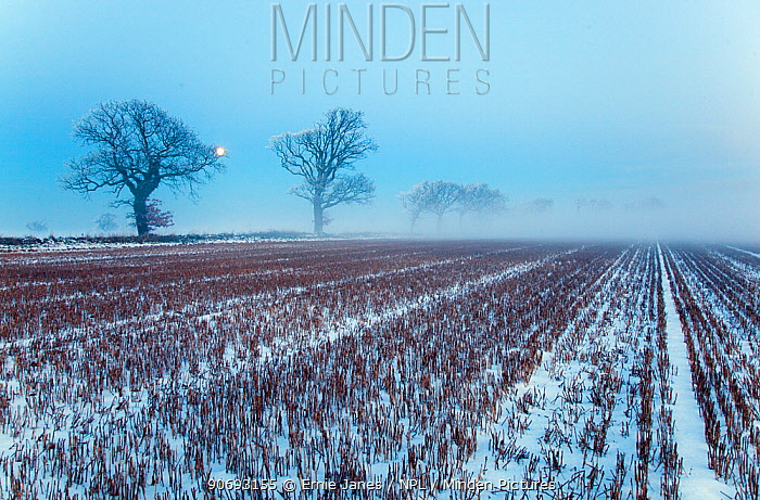 Snow covered stubble fields with oak trees and rising moon, Gimingham, Norfolk, UK, December  -  Ernie Janes/ npl