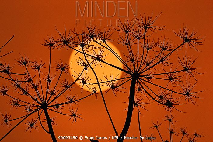 Hedge Parsley seed head (Torilis japonica) silhouetted at sunset, Norfolk, UK, November  -  Ernie Janes/ npl