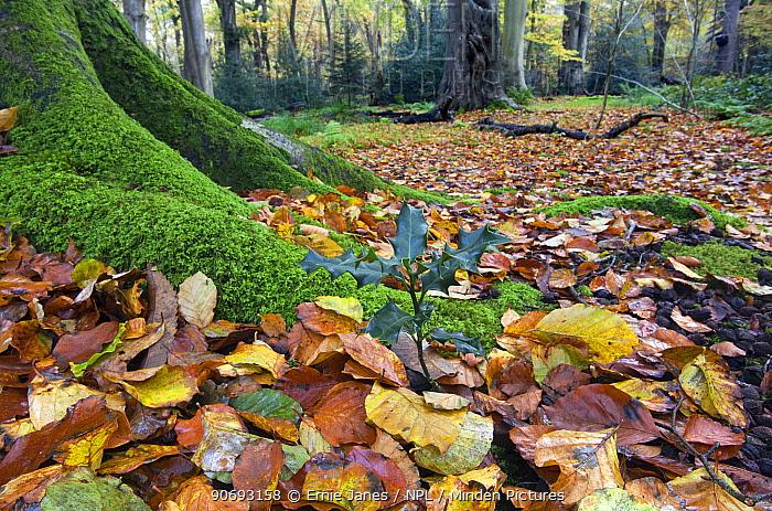 Holly tree seedling (Ilex aquifolium) amongst autumn leaves at base of Beech tree (Fagus sylvatica) Norfolk, November  -  Ernie Janes/ npl