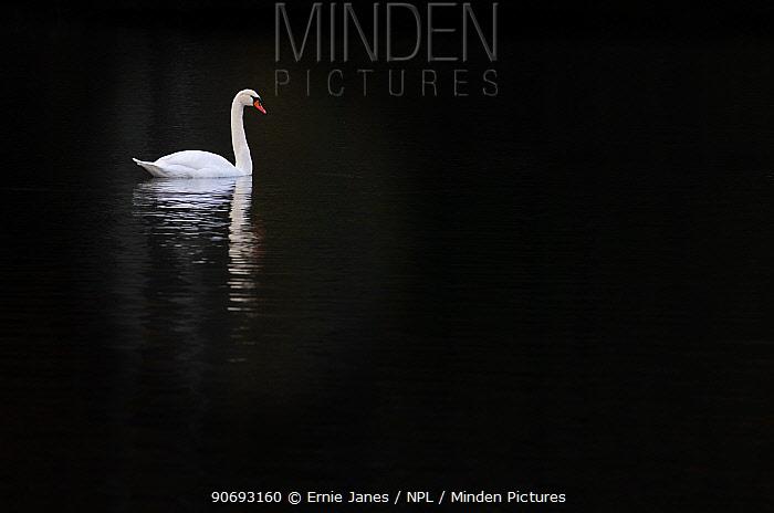 Mute Swan (Cygnus olor) against dark water, Felbrigg, Norfolk, November  -  Ernie Janes/ npl