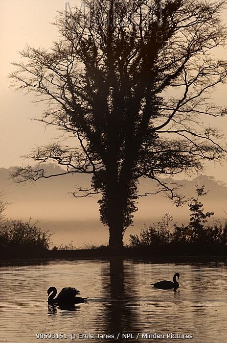 Mute Swans (Cygnus olor) silhouetted at sunrise on foggy morning, Felbrigg, Norfolk  -  Ernie Janes/ npl