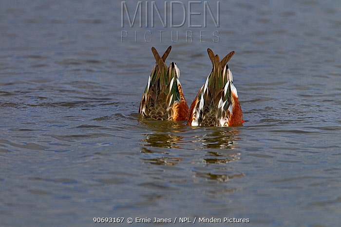 Shoveler (Anas clypeata) drakes upended feeding together, Norfolk, October  -  Ernie Janes/ npl