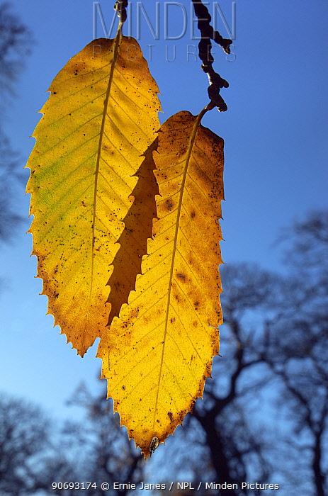 Sweet Chestnut (Castanea sativa) leaves in autumn, Norfolk, UK, November  -  Ernie Janes/ npl