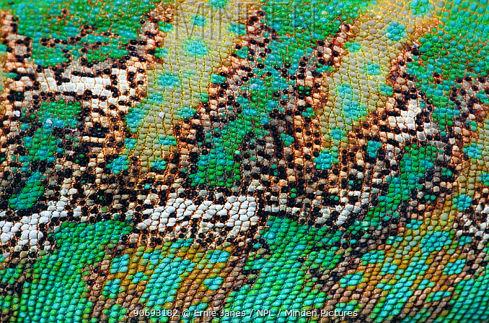 Yemen or Veiled Chameleon (Chamaeleo calyptratus) close-up of skin, captive from the Middle-East  -  Ernie Janes/ npl