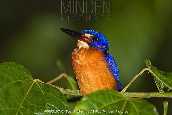 Blue eared Kingfisher (Alcedo meninting) portrait,  -  Suzi Eszterhas/ npl
