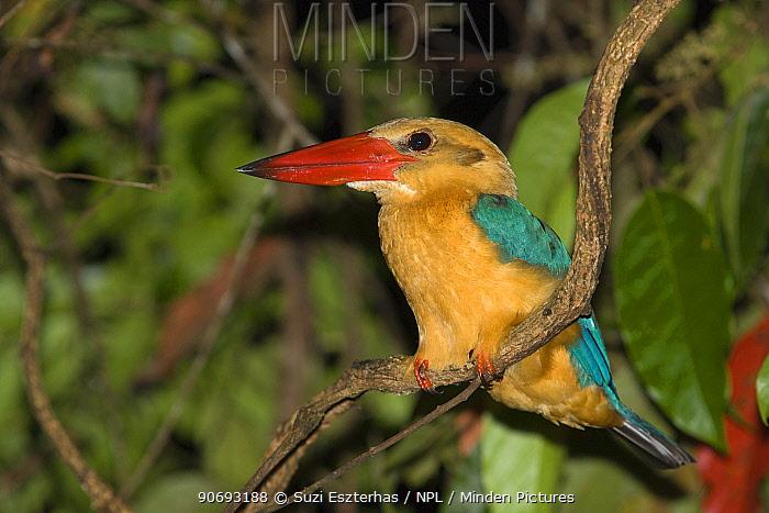 Stork billed Kingfisher (Pelargopsis capensis)  -  Suzi Eszterhas/ npl