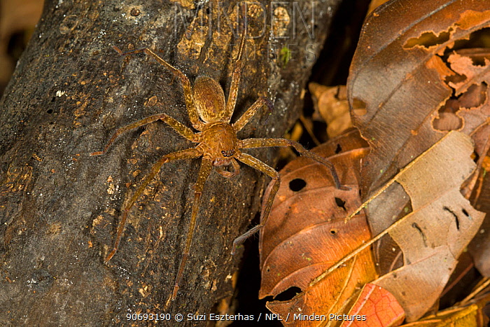 Giant Crab Spider (Sparassidae sp) on tree trunk,  -  Suzi Eszterhas/ npl