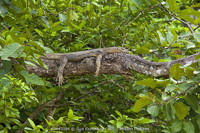 Asian Water Monitor (Varanus salvator) resting on branch over Kinabatangan River, Sabah, Borneo, Malaysia  -  Suzi Eszterhas/ npl
