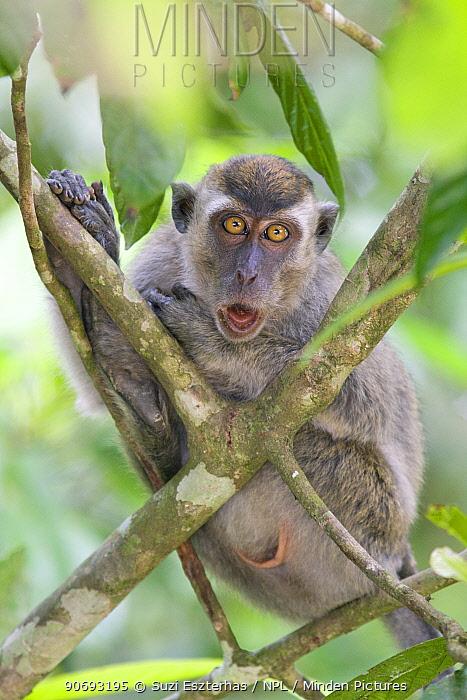 Crab eating macaque (Macaca fascicularis) juvenile portrait, Kinabatangan River, Sabah, Borneo, Malaysia  -  Suzi Eszterhas/ npl