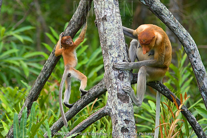 Proboscis Monkey (Nasalis larvatus) mother with 2-3 month old baby, Sabah, Borneo, Malaysia  -  Suzi Eszterhas/ npl