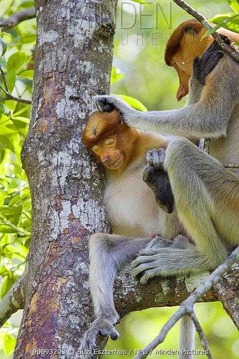 Proboscis Monkey (Nasalis larvatus) adult grooming juvenile, Sabah, Borneo, Malaysia  -  Suzi Eszterhas/ npl
