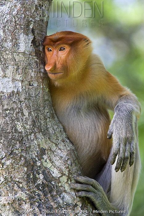 Proboscis Monkey (Nasalis larvatus) adult portrait sitting in tree, Sabah, Borneo, Malaysia  -  Suzi Eszterhas/ npl