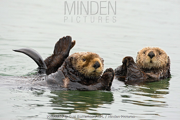 Southern sea otters (Enhydra lutris) trying to keep paws dry for thermoregulation by holding above water surface, Monterey Bay, California, USA  -  Suzi Eszterhas/ npl