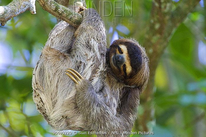 Brown throated Three-toed Sloth (Bradypus variegatus) asleep in tree, Aviarios Sloth Sanctuary, Costa Rica  -  Suzi Eszterhas/ npl