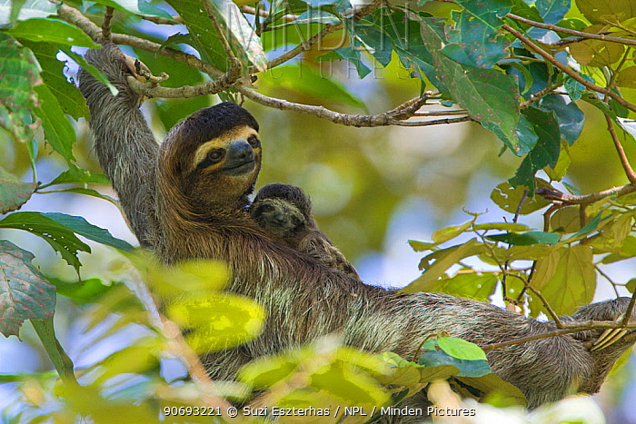 Brown throated Three-toed Sloth (Bradypus variegatus) mother and newborn baby (less than 1 week) resting in tree, Aviarios Sloth Sanctuary, Costa Rica  -  Suzi Eszterhas/ npl
