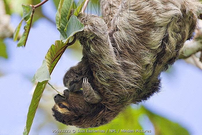Brown throated Three-toed Sloth (Bradypus variegatus) mother and newborn baby (less than 1 week) mother feeding on leaves, Aviarios Sloth Sanctuary, Costa Rica  -  Suzi Eszterhas/ npl