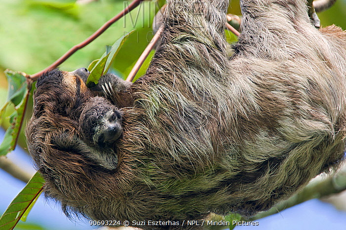 Brown throated Three-toed Sloth (Bradypus variegatus) mother and newborn baby (less than 1 week) resting in tree, Aviarios Sloth Sanctuary, Costa Rica (Digitally removed branch from background)  -  Suzi Eszterhas/ npl