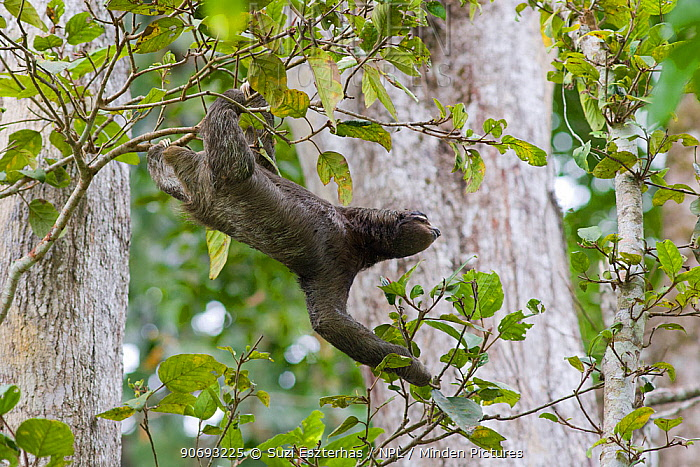 Brown throated Three-toed Sloth (Bradypus variegatus) male crossing from one tree to the next, Aviarios Sloth Sanctuary, Costa Rica  -  Suzi Eszterhas/ npl
