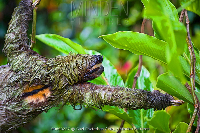 Brown throated Three-toed Sloth ( Bradypus variegatus) male reaching to branch, Aviarios Sloth Sanctuary, Costa Rica  -  Suzi Eszterhas/ npl