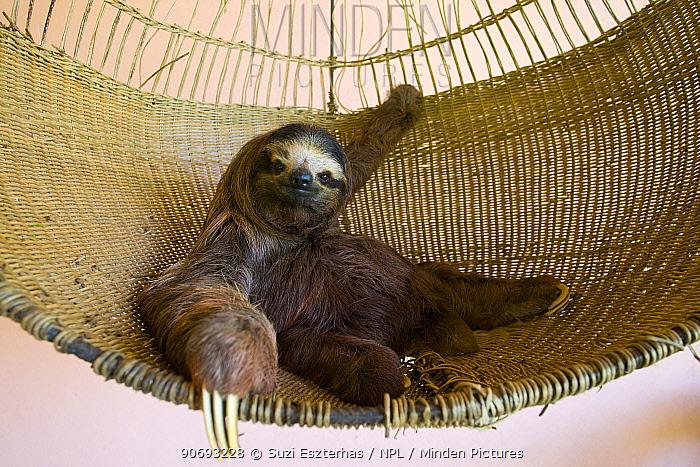 Brown throated Three-toed Sloth (Bradypus variegatus) 'Buttercup' the sloth ambassador rescued orphan in Aviarios Sloth Sanctuary, Costa Rica  -  Suzi Eszterhas/ npl