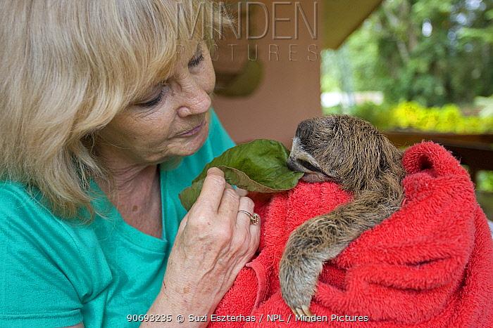 Brown throated Three-toed Sloth (Bradypus variegatus) Judy Avey-Arroyo, Sanctuary Owner, feeding Cecropia leaf to 2 month orpha baby  -  Suzi Eszterhas/ npl