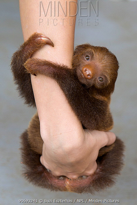 Hoffmann's Two-toed Sloth (Choloepus hoffmanni) orphan baby clinging to person's arms, Aviarios Sloth Sanctuary, Costa Rica  -  Suzi Eszterhas/ npl