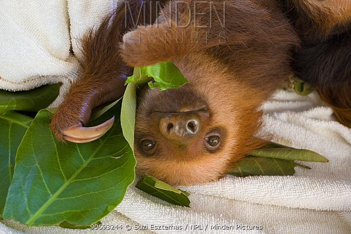 Hoffmann's Two-toed Sloth (Choloepus hoffmanni) orphan baby feeding on leaves in Aviarios Sloth Sanctuary, Costa Rica  -  Suzi Eszterhas/ npl