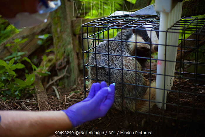 European Badger (Meles meles) trapped in a cage trap is vaccinated by Defra field worker against bovine tuberculosis (bTB) during vaccination trials in Gloucestershire, UK June 2011  -  Neil Aldridge/ npl