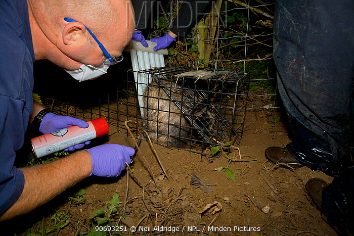 To aid identification of vaccinated animals, a Defra Field Worker clips the hair of a European Badger (Meles meles) that has been restrained using plastic wickets in a cage trap during bovine tuberculosis (bTB) vaccination trials in Gloucestershire, UK June 2011  -  Neil Aldridge/ npl