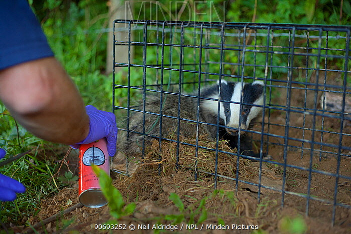 To aid identification of vaccinated animals, a Defra Field Worker sprays dye onto the hair of a European Badger (Meles meles) caught in a cage trap during bovine tuberculosis (bTB) vaccination trials in Gloucestershire, UK June 2011  -  Neil Aldridge/ npl