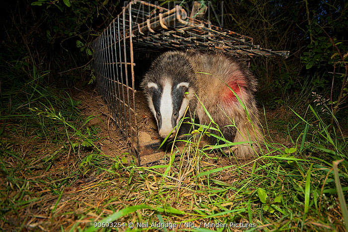 European Badger (Meles meles) emerges from a cage trap following its successful vaccination against bovine tuberculosis (bTB) during vaccination trials The red dye on its flank denotes that the badger has been successfully vaccinated in case it is caught again Gloucestershire, UK June 2011  -  Neil Aldridge/ npl