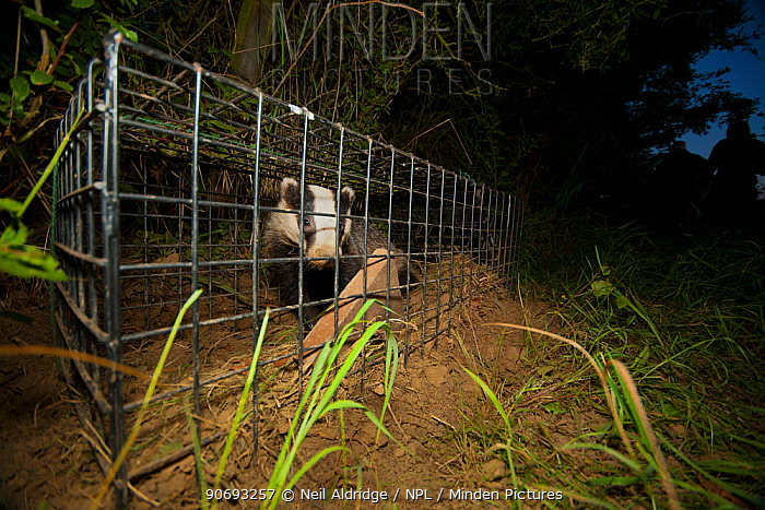 A European Badger (Meles meles) caught in a cage trap awaiting vaccination as part of bovine tuberculosis (bTB) vaccination trials on farmland in Gloucestershire, UK June 2011 Part of winning portfolio for �Documentary Series� category, British Wildlife Photographer of the Year Awards (BWPA) 2013  -  Neil Aldridge/ npl