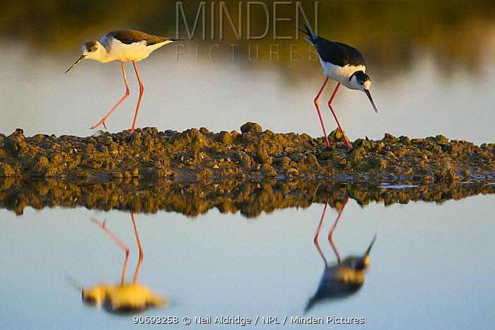 Black winged Stilts (Himantopus himantopus) pair reflected in the water on salt flats in the Algarve, Portugal, May  -  Neil Aldridge/ npl