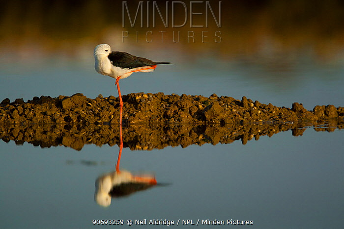 Black winged Stilt (Himantopus himantopus) resting while standing on one leg is reflected in the water of salt flats in the Algarve, Portugal, May  -  Neil Aldridge/ npl