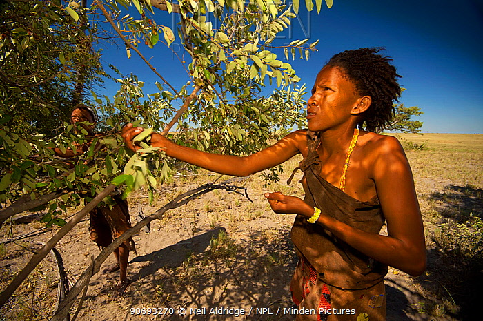 A young Zu, 'hoasi Bushman woman picking berries from a bush on the open plains of the Kalahari, Botswana April 2012 No release available  -  Neil Aldridge/ npl