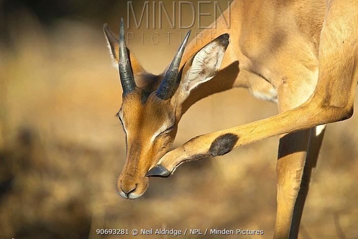 Impala (Aepyceros melampus) young ram scratching its face using its hoof, Kruger National Park, South Africa  -  Neil Aldridge/ npl