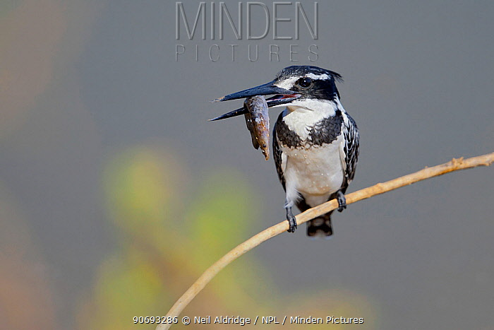 Pied Kingfisher (Ceryle rudis) with a fish, Venetia Limpopo Nature Reserve, Limpopo Province, South Africa, July  -  Neil Aldridge/ npl
