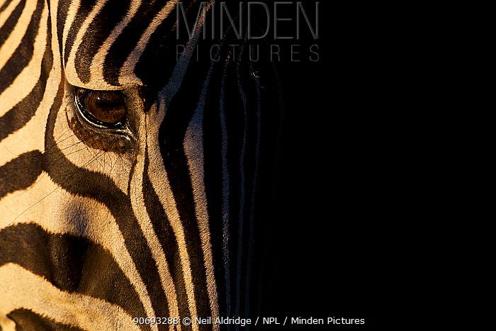 Common Zebra (Equus quagga) head detail portrait, Kruger National Park, South Africa  -  Neil Aldridge/ npl