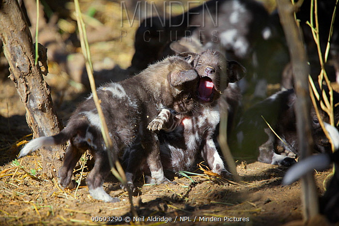 African wild dog (Lycaon pictus) one month old pups play at a den site on the banks of the Limpopo River, Northern Tuli Game Reserve, Botswana  -  Neil Aldridge/ npl