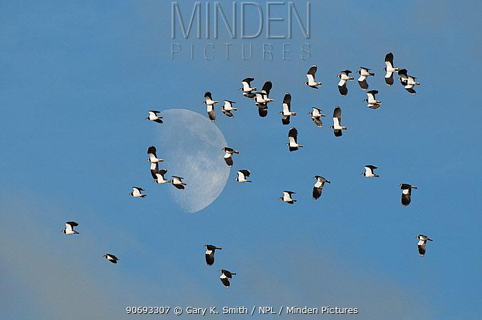 Lapwing (Vanellus vanellus) flock flying with November moon in background, Norfolk, England, November Digital composite  -  Gary K. Smith/ npl