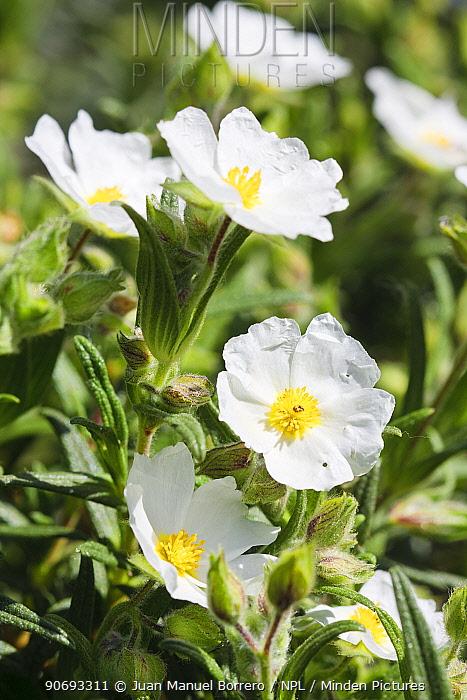 Montpelier rock rose (Cistus monspeliensis) Spain  -  Juan Manuel Borrero/ npl