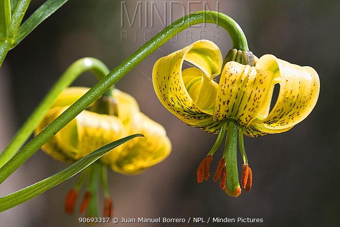 Pyrenean Lily (Lilium pyrenaicum) Pyrenees, Lleida Province, Spain, July  -  Juan Manuel Borrero/ npl